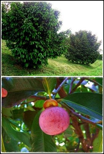 Benefici dell'albero di mangostano