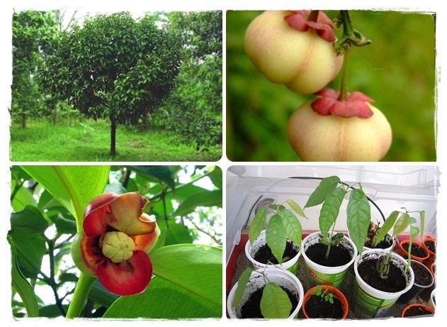 coltivare la pianta del mangostano